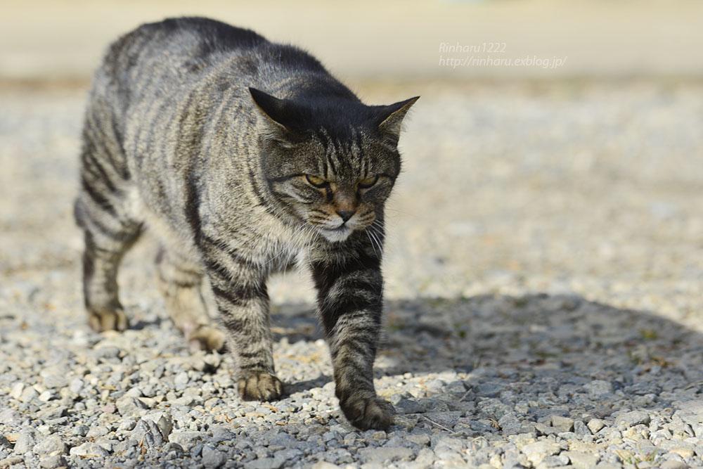 2020.1.3 我が家の猫たち(とらたろう、まお、ましゅう、くぅ) 【Cats】_f0250322_19542688.jpg