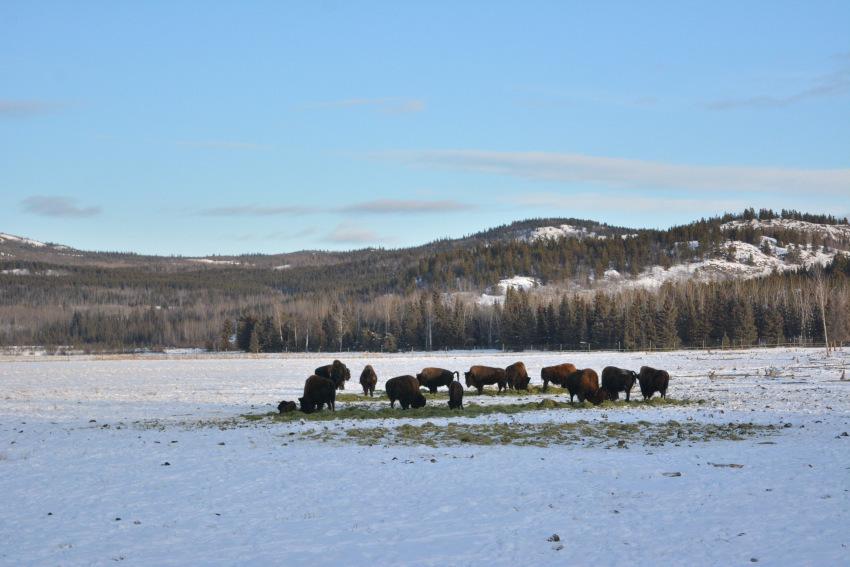 極北の住む動物を観察 ミート・ザ・ワイルド_d0112928_05014982.jpg