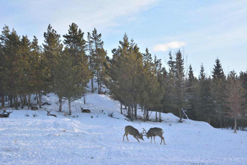 極北の住む動物を観察 ミート・ザ・ワイルド_d0112928_05095999.jpg