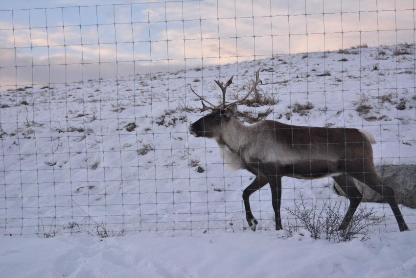 極北の住む動物を観察 ミート・ザ・ワイルド_d0112928_05123180.jpg