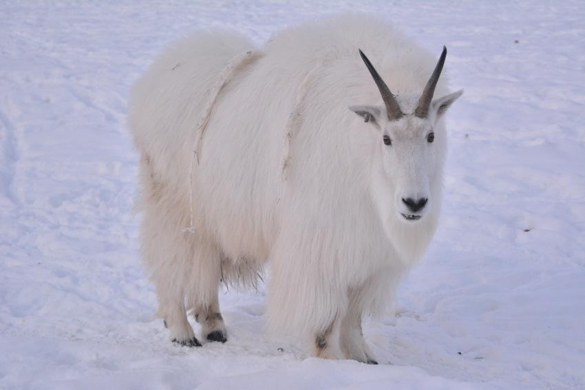 極北の住む動物を観察 ミート・ザ・ワイルド_d0112928_05175057.jpg