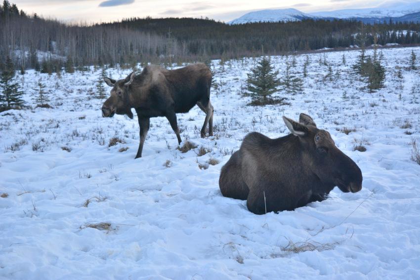 極北の住む動物を観察 ミート・ザ・ワイルド_d0112928_05264147.jpg