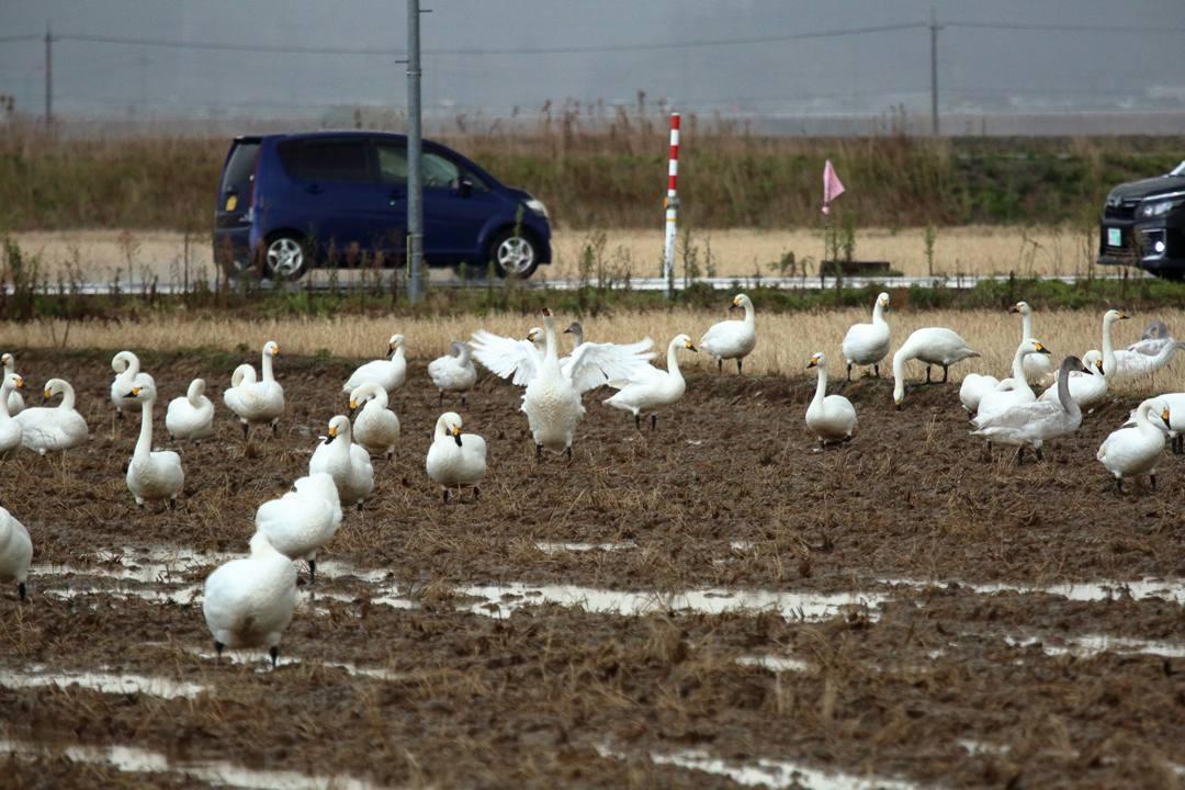 イオンの白鳥_e0403850_22232983.jpg