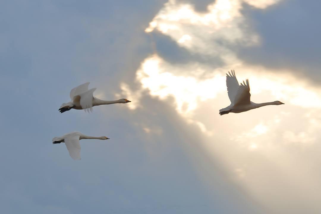 イオンの白鳥_e0403850_22234530.jpg