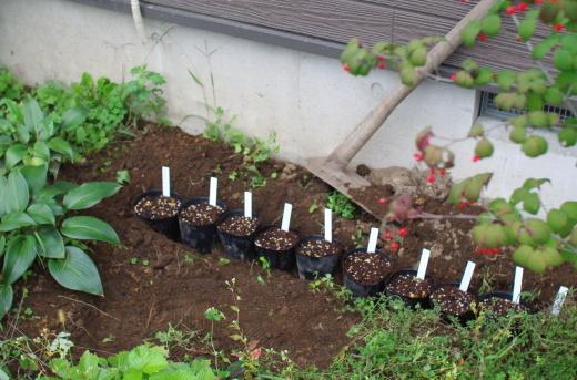 ヒヤシンスを庭から移してきた_c0110869_13210112.jpg