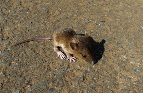 今年の干支は、ネズミ・・・「アカネズミ」_d0019074_15553784.jpg
