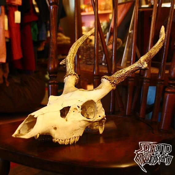 小ぶりな鹿頭蓋骨 DEERSKULL_e0243096_20090077.jpg
