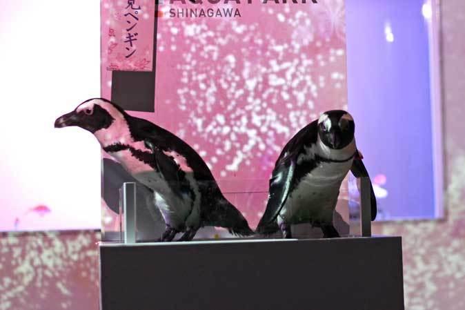 春のアクアパーク品川~サクラダイとお花見ペンギン_b0355317_18294805.jpg
