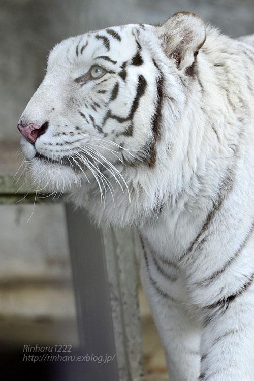 2020.1.4 東北サファリパーク☆ホワイトタイガーのマリンくん【White tiger】_f0250322_2331928.jpg