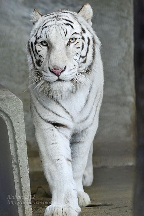 2020.1.4 東北サファリパーク☆ホワイトタイガーのマリンくん【White tiger】_f0250322_233267.jpg