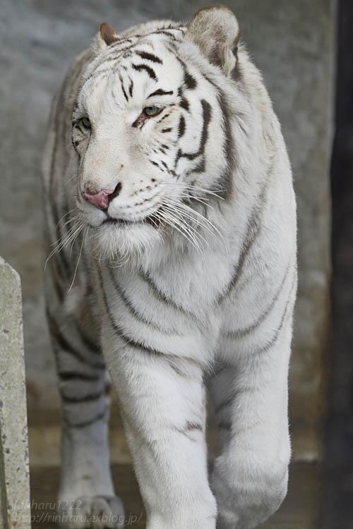 2020.1.4 東北サファリパーク☆ホワイトタイガーのマリンくん【White tiger】_f0250322_2334320.jpg