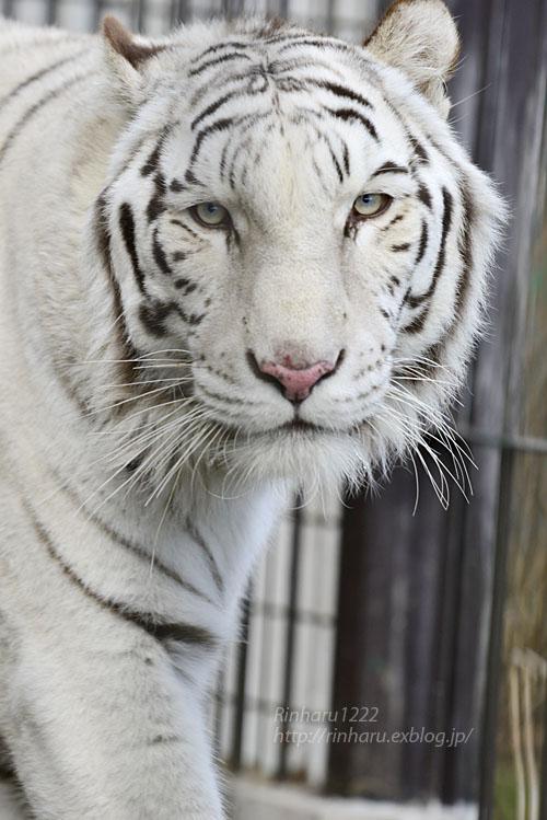 2020.1.4 東北サファリパーク☆ホワイトタイガーのマリンくん【White tiger】_f0250322_2334820.jpg
