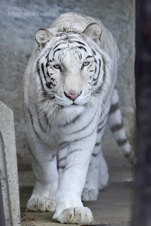 2020.1.4 東北サファリパーク☆ホワイトタイガーのマリンくん【White tiger】_f0250322_2335574.jpg