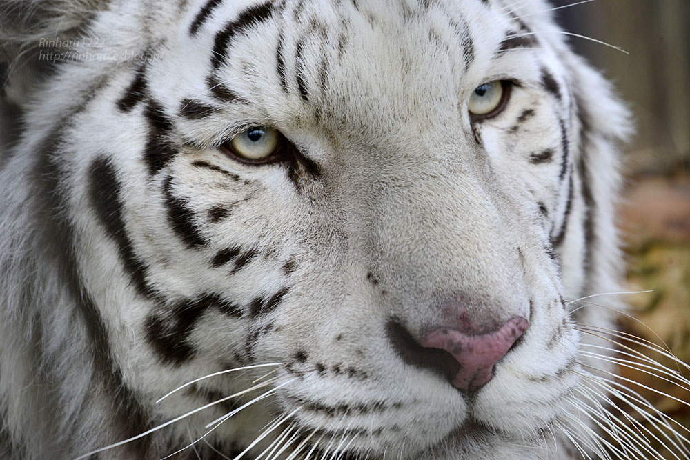 2020.1.4 東北サファリパーク☆ホワイトタイガーのマリンくん【White tiger】_f0250322_234213.jpg