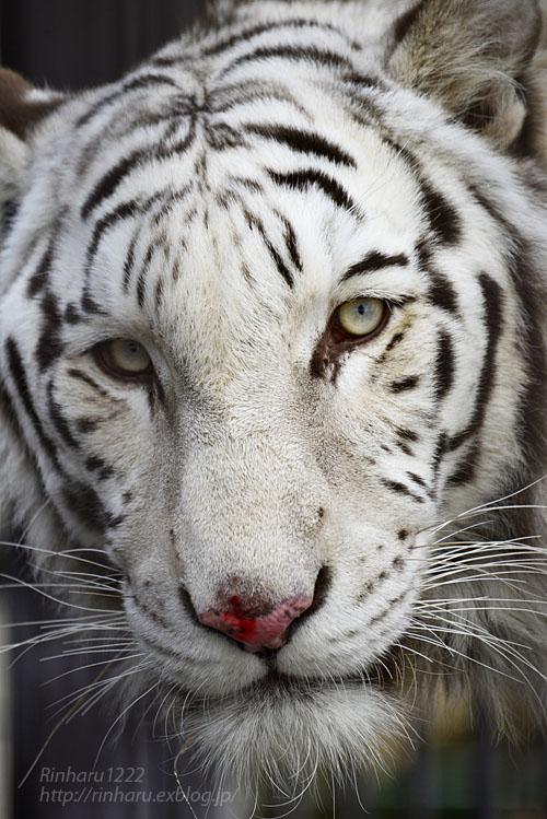 2020.1.4 東北サファリパーク☆ホワイトタイガーのマリンくん【White tiger】_f0250322_2342947.jpg