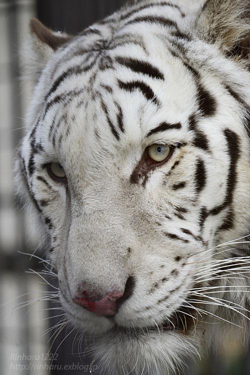 2020.1.4 東北サファリパーク☆ホワイトタイガーのマリンくん【White tiger】_f0250322_2343614.jpg