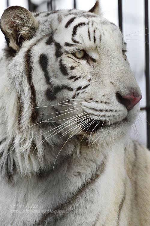 2020.1.4 東北サファリパーク☆ホワイトタイガーのマリンくん【White tiger】_f0250322_2344214.jpg