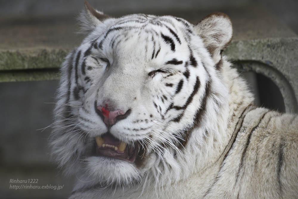 2020.1.4 東北サファリパーク☆ホワイトタイガーのマリンくん【White tiger】_f0250322_2344899.jpg