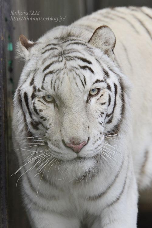 2020.1.4 東北サファリパーク☆ホワイトタイガーのマリンくん【White tiger】_f0250322_23494.jpg