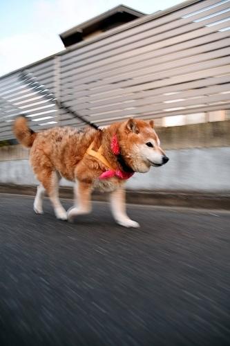飛躍の犬生は・・・_b0314043_08123261.jpg