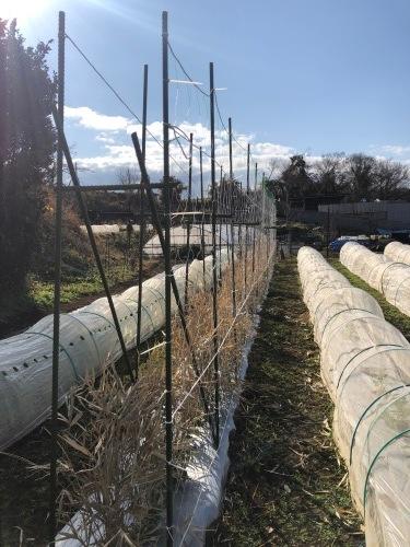 今朝よりエンドウ豆のネット張り開始します_c0222448_11200075.jpg