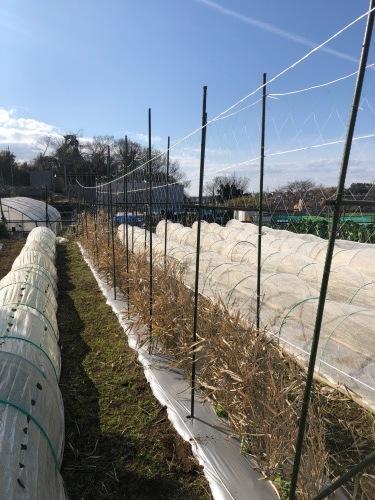 今朝よりエンドウ豆のネット張り開始します_c0222448_11202315.jpg