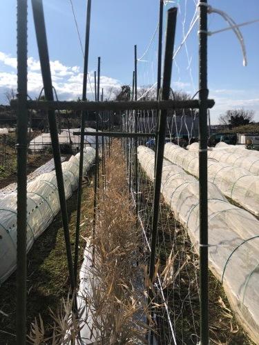 今朝よりエンドウ豆のネット張り開始します_c0222448_11203617.jpg