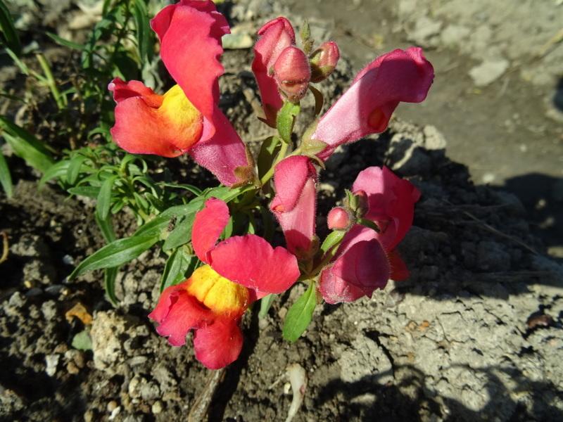 我が家の花壇作業初め_c0108460_16421222.jpg