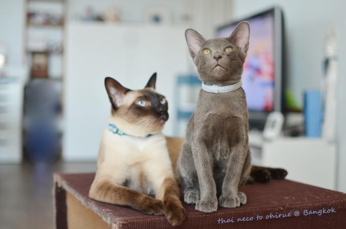 銀青色の子猫がやってきました。_f0384567_18362492.jpg