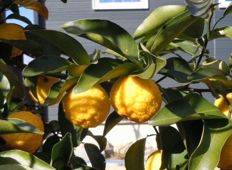 路傍の花、樹々の鳥(363) ~ 幸せの黄色い ・・・ ~_b0102572_15123139.jpg