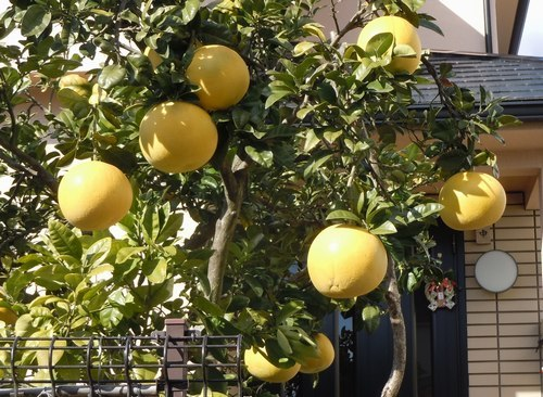 路傍の花、樹々の鳥(363) ~ 幸せの黄色い ・・・ ~_b0102572_15130357.jpg