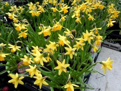 路傍の花、樹々の鳥(363) ~ 幸せの黄色い ・・・ ~_b0102572_15144744.jpg