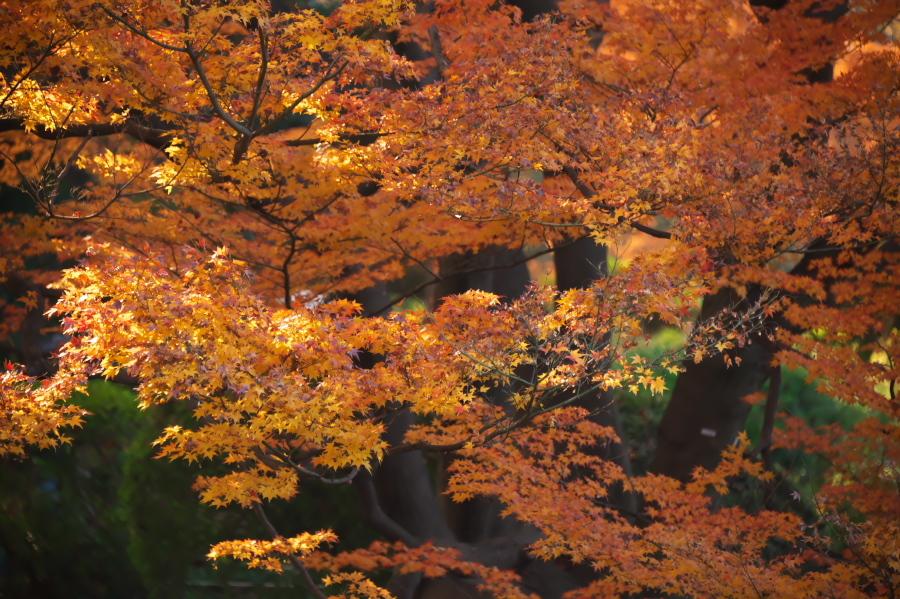 新宿御苑の紅葉2_a0263109_10545266.jpg