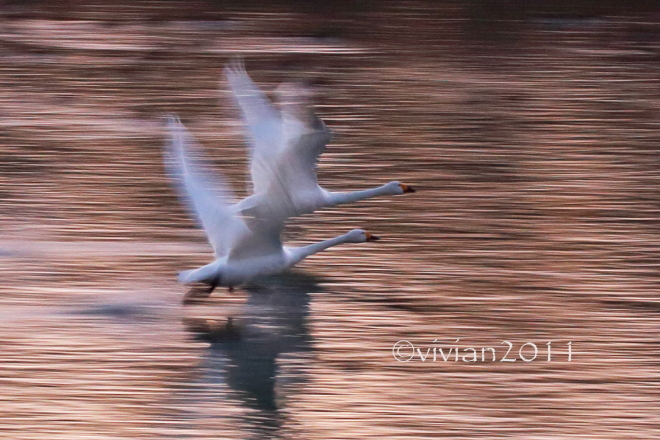 塩谷 ハクチョウの飛来地_e0227942_21461903.jpg