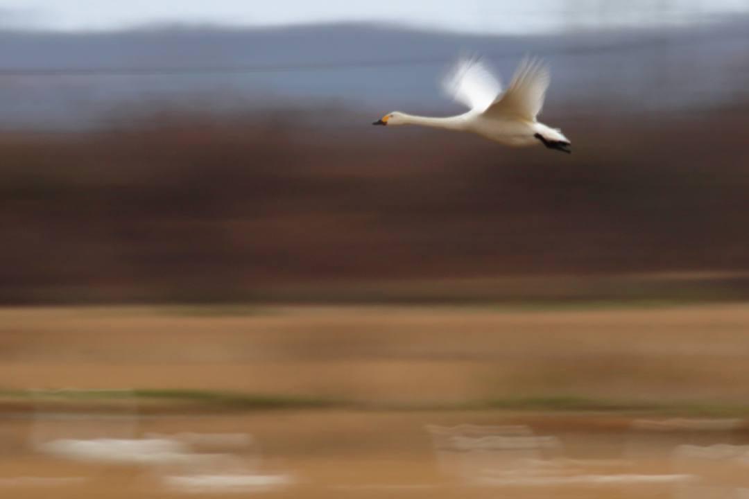 白鳥総集編2019~2020 その5_e0403850_20272013.jpg