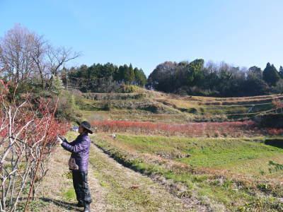 フレッシュブルーベリー 大きくて美味しい果実を実らせるために!枯れ枝剪定と冬の剪定作業の様子_a0254656_16412933.jpg