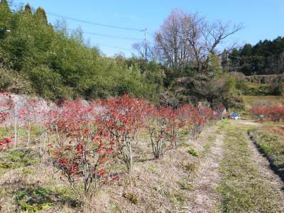 フレッシュブルーベリー 大きくて美味しい果実を実らせるために!枯れ枝剪定と冬の剪定作業の様子_a0254656_16434767.jpg