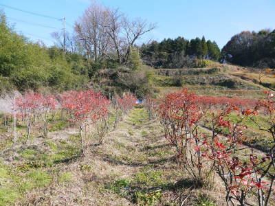 フレッシュブルーベリー 大きくて美味しい果実を実らせるために!枯れ枝剪定と冬の剪定作業の様子_a0254656_16450242.jpg