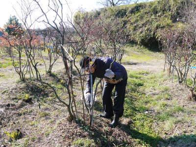 フレッシュブルーベリー 大きくて美味しい果実を実らせるために!枯れ枝剪定と冬の剪定作業の様子_a0254656_16491561.jpg
