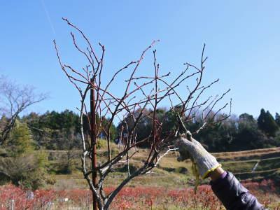 フレッシュブルーベリー 大きくて美味しい果実を実らせるために!枯れ枝剪定と冬の剪定作業の様子_a0254656_16545929.jpg
