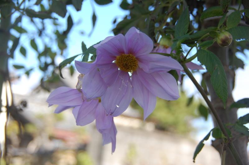 皇帝ダリアも始末した・・・我が家の花壇_c0108460_15542541.jpg