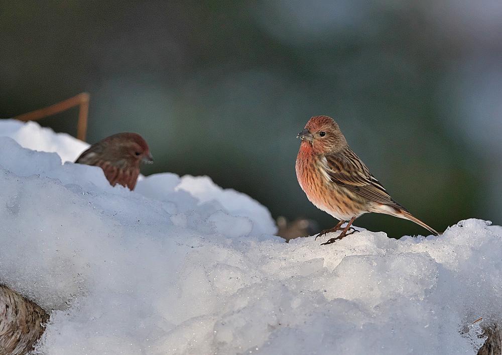 雪の中のオオマシコ_f0231403_18421269.jpg