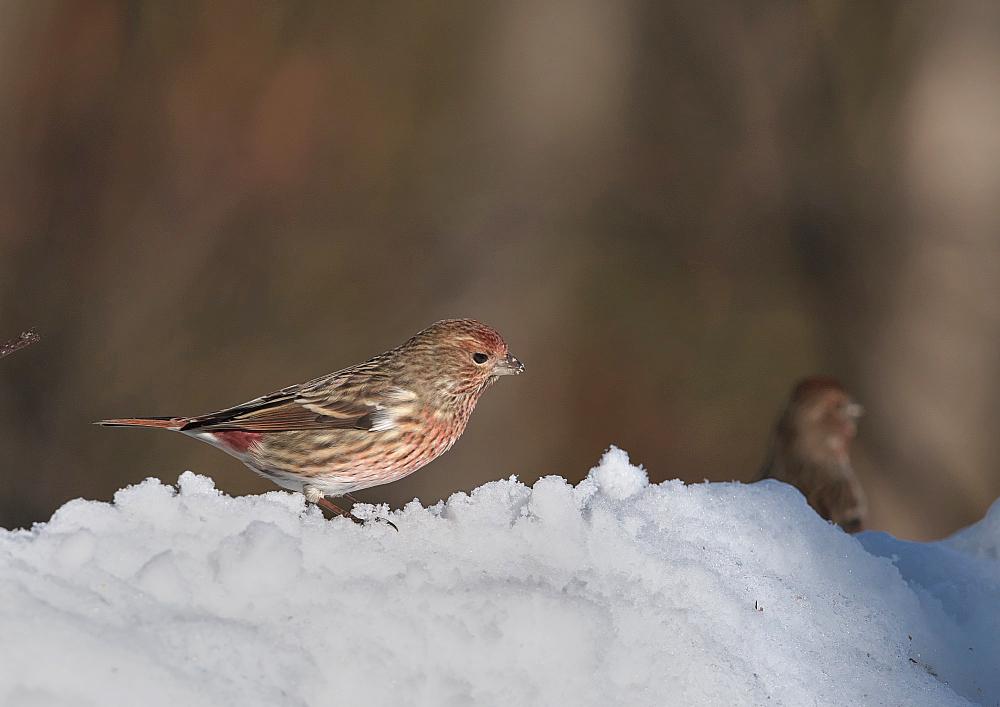 雪の中のオオマシコ_f0231403_18422409.jpg