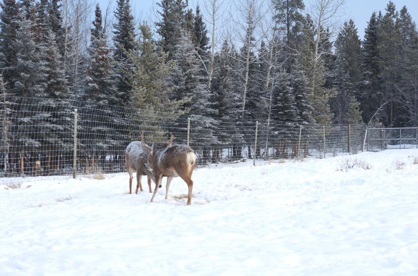 極寒の中生きる動物を見に行こう!ミート・ザ・ワイルド_d0112928_03550981.jpg