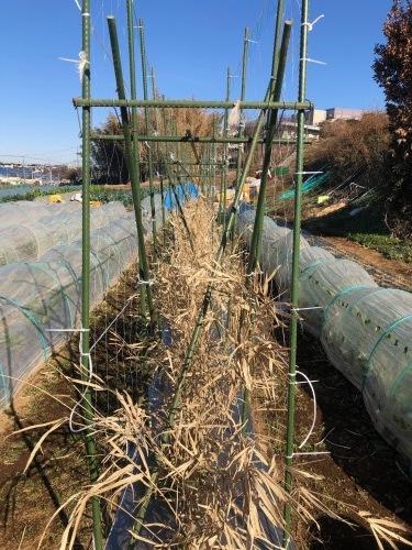 今朝はエンド豆ネット張り&櫓補強に時間をかけ・・芽キャベツの葉を収穫これが美味しいんです_c0222448_11283942.jpg