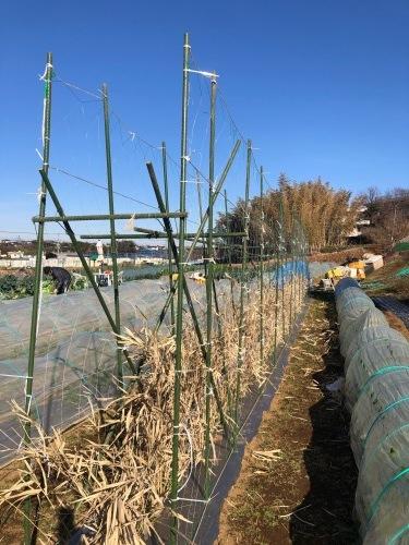 今朝はエンド豆ネット張り&櫓補強に時間をかけ・・芽キャベツの葉を収穫これが美味しいんです_c0222448_11285981.jpg