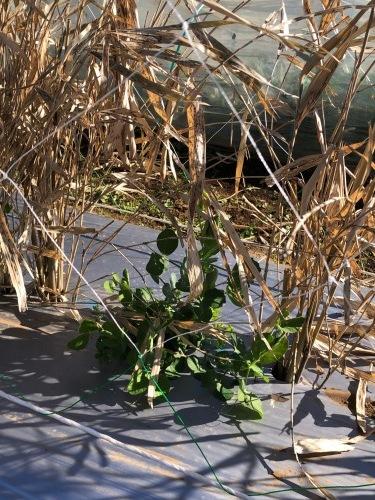 今朝はエンド豆ネット張り&櫓補強に時間をかけ・・芽キャベツの葉を収穫これが美味しいんです_c0222448_11295279.jpg