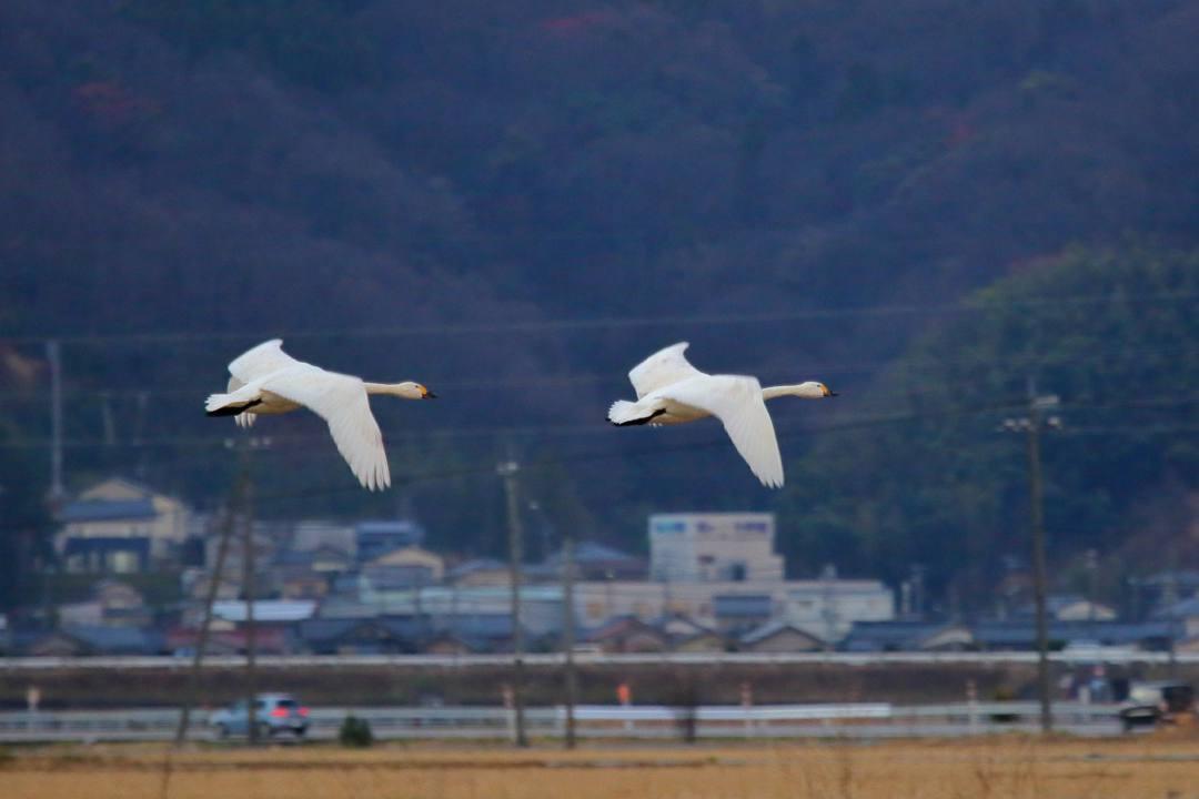 今日も白鳥その2_e0403850_22073868.jpg