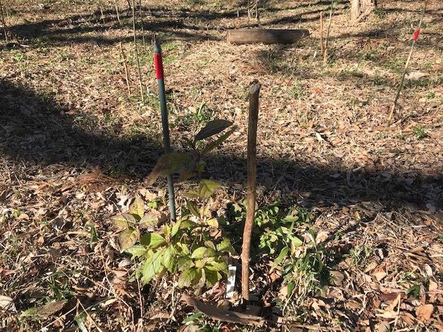 植樹したヤマアジサイの傍らにマーキング1・5_c0014967_06245378.jpg