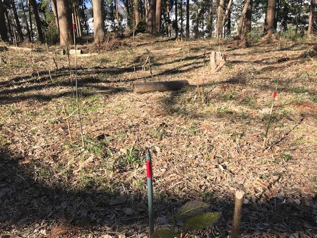 植樹したヤマアジサイの傍らにマーキング1・5_c0014967_06271018.jpg